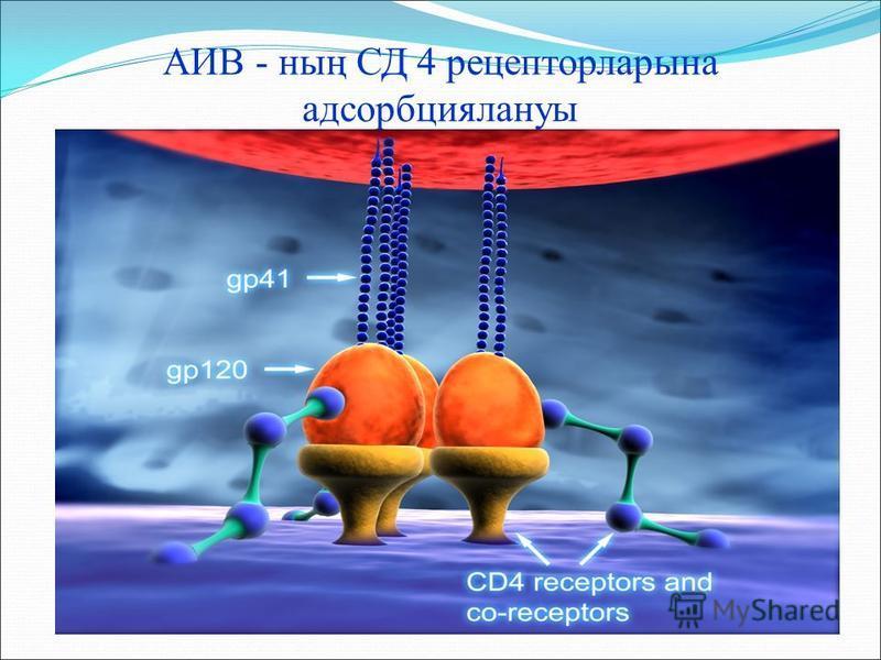 АИВ - ның СД 4 рецепторларына адсорбциялануы