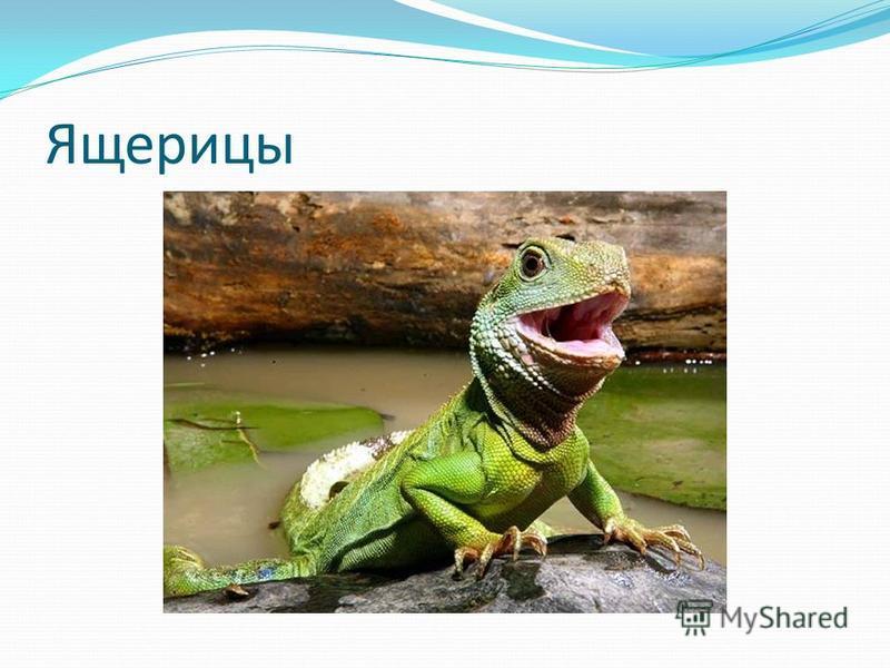 Ящерицы