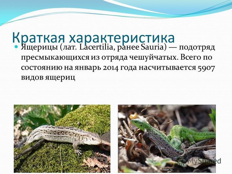 Краткая характеристика Ящерицы (лат. Lacertilia, ранее Sauria) подотряд пресмыкающихся из отряда чешуйчатых. Всего по состоянию на январь 2014 года насчитывается 5907 видов ящериц