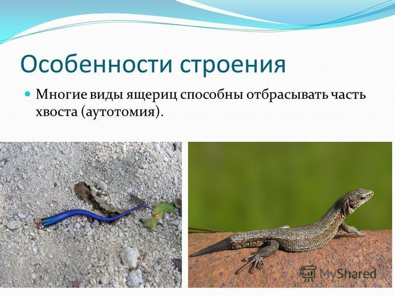 Особенности строения Многие виды ящериц способны отбрасывать часть хвоста (аутотомия).