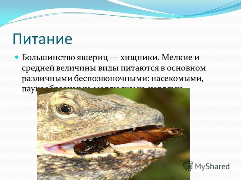 Питание Большинство ящериц хищники. Мелкие и средней величины виды питаются в основном различными беспозвоночными: насекомыми, паукообразными, моллюсками, червями.