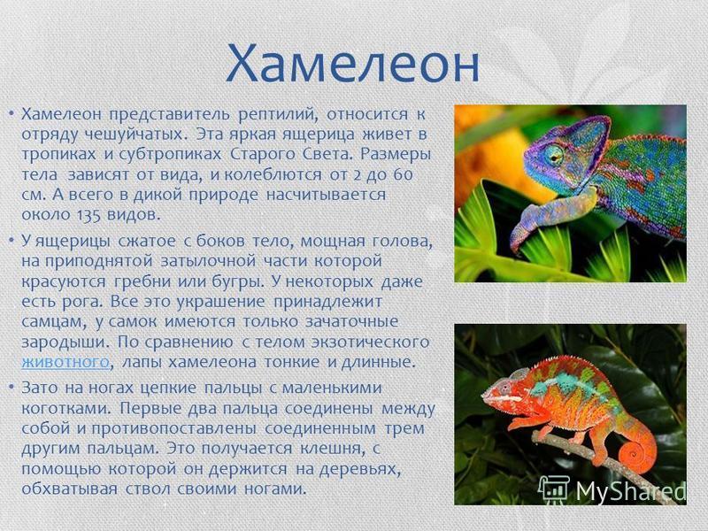 Хамелеон Хамелеон представитель рептилий, относится к отряду чешуйчатых. Эта яркая ящерица живет в тропиках и субтропиках Старого Света. Размеры тела зависят от вида, и колеблются от 2 до 60 см. А всего в дикой природе насчитывается около 135 видов.