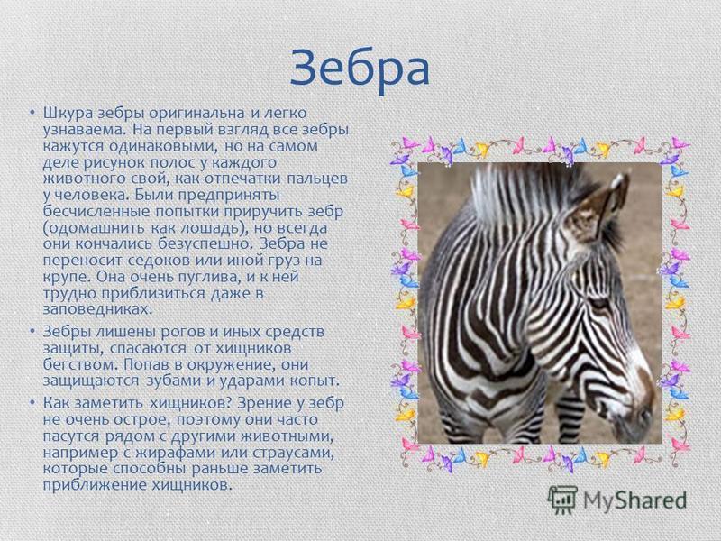 Зебра Шкура зебры оригинальна и легко узнаваема. На первый взгляд все зебры кажутся одинаковыми, но на самом деле рисунок полос у каждого животного свой, как отпечатки пальцев у человека. Были предприняты бесчисленные попытки приручить зебр (одомашни