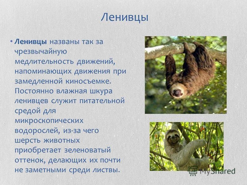Ленивцы Ленивцы названы так за чрезвычайную медлительность движений, напоминающих движения при замедленной киносъемке. Постоянно влажная шкура ленивцев служит питательной средой для микроскопических водорослей, из-за чего шерсть животных приобретает