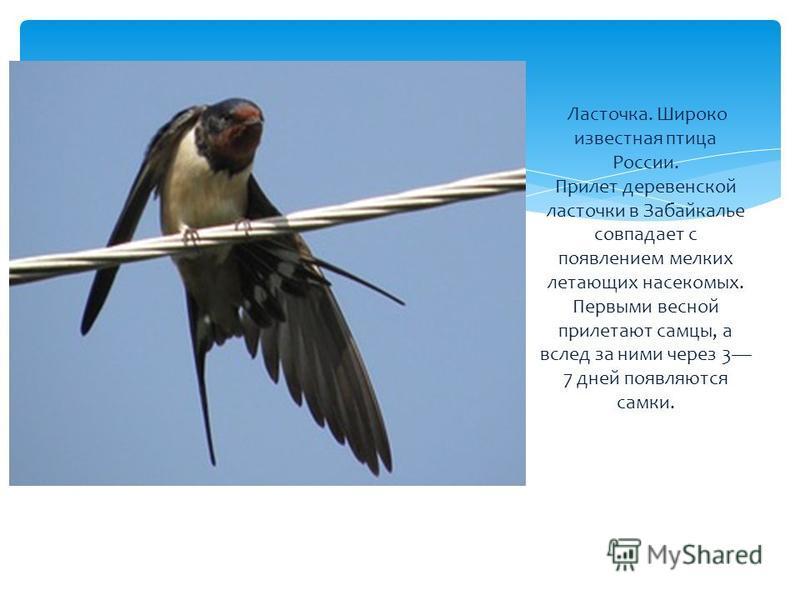 Ласточка. Широко известная птица России. Прилет деревенской ласточки в Забайкалье совпадает с появлением мелких летающих насекомых. Первыми весной прилетают самцы, а вслед за ними через 3 7 дней появляются самки.