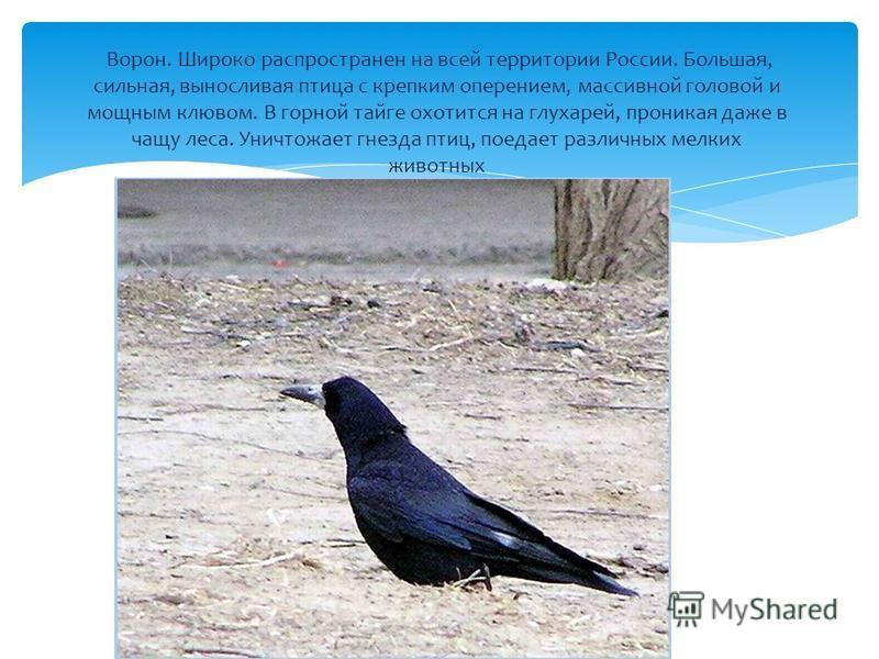 Ворон. Широко распространен на всей территории России. Большая, сильная, выносливая птица с крепким оперением, массивной головой и мощным клювом. В горной тайге охотится на глухарей, проникая даже в чащу леса. Уничтожает гнезда птиц, поедает различны