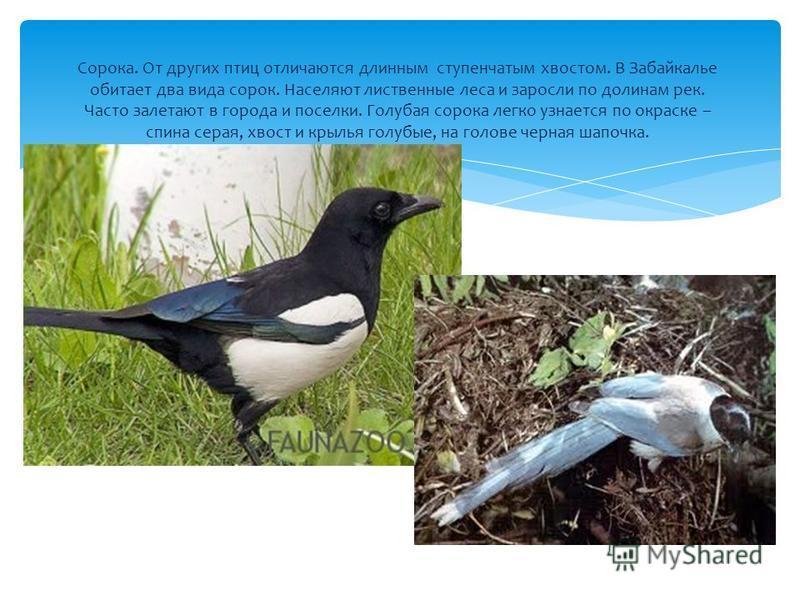 Сорока. От других птиц отличаются длинным ступенчатым хвостом. В Забайкалье обитает два вида сорок. Населяют лиственные леса и заросли по долинам рек. Часто залетают в города и поселки. Голубая сорока легко узнается по окраске – спина серая, хвост и