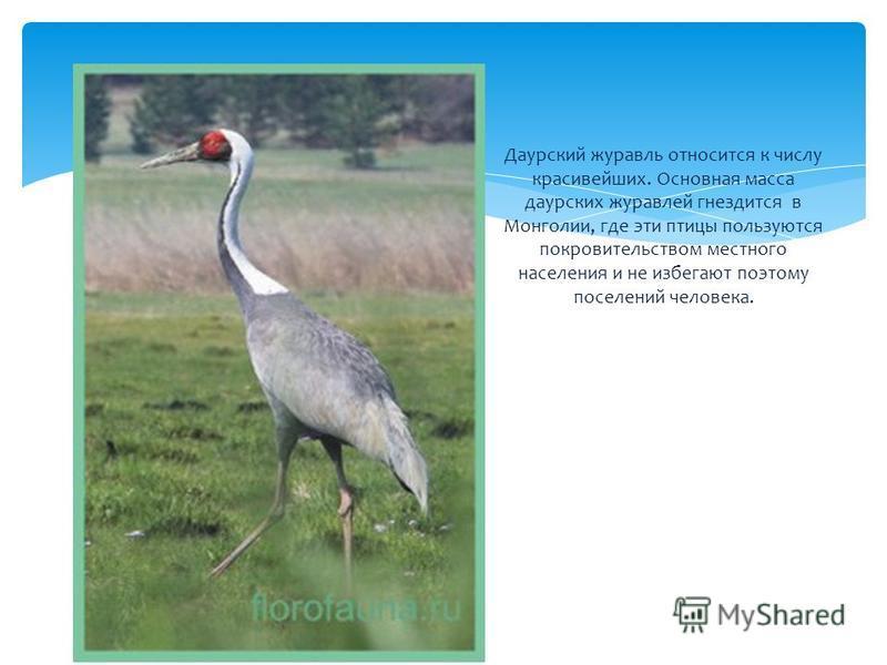 Даурский журавль относится к числу красивейших. Основная масса даурских журавлей гнездится в Монголии, где эти птицы пользуются покровительством местного населения и не избегают поэтому поселений человека.