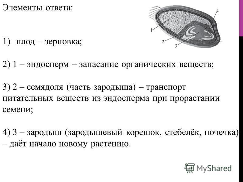 Элементы ответа: 1)плод – зерновка; 2) 1 – эндосперм – запасание органических веществ; 3) 2 – семядоля (часть зародыша) – транспорт питательных веществ из эндосперма при прорастании семени; 4) 3 – зародыш (зародышевый корешок, стебелёк, почека) – даё