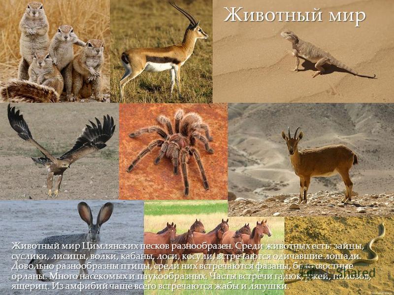 { Животный мир Цимлянских песков разнообразен. Среди животных есть: зайцы, суслики, лисицы, волки, кабаны, лоси, косули, встречаются одичавшие лошади. Довольно разнообразны птицы, среди них встречаются фазаны, белохвостные орланы. Много насекомых и п