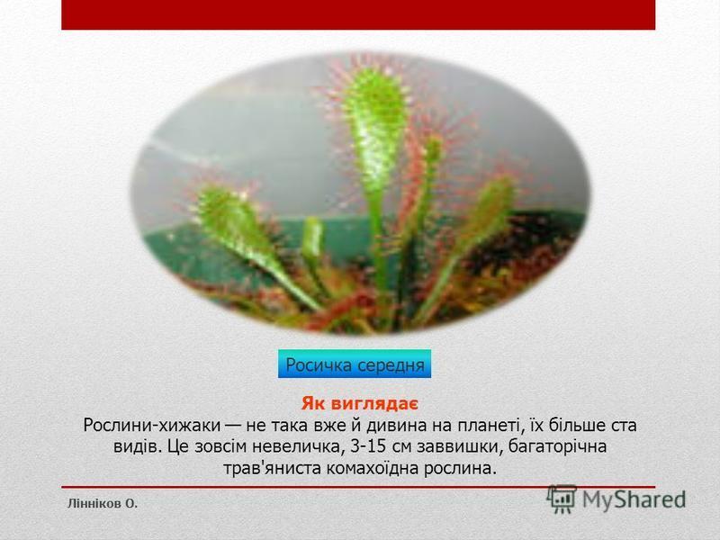 Росичка середня Як виглядає Рослини-хижаки не така вже й дивина на планеті, їх більше ста видів. Це зовсім невеличка, 3-15 см заввишки, багаторічна трав'яниста комахоїдна рослина. Лінніков О.
