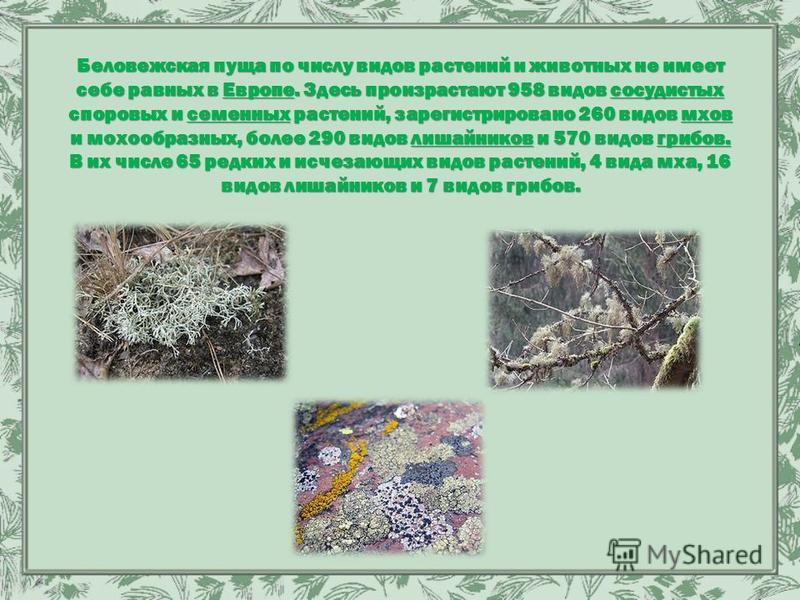 Беловежская пуща по числу видов растений и животных не имеет себе равных в Европе. Здесь произрастают 958 видов сосудистых споровых и семенных растений, зарегистрировано 260 видов мхов и мохообразных, более 290 видов лишайников и 570 видов грибов. В