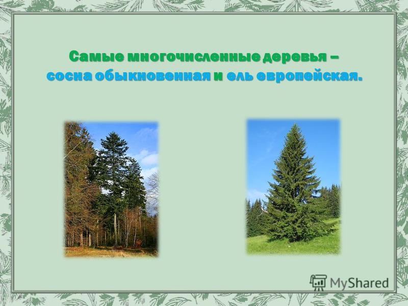 Самые многочисленные деревья – сосна обыкновенная и ель европейская.