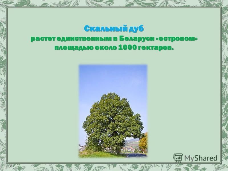 Скальный дуб растет единственным в Беларуси «островом» площадью около 1000 гектаров.