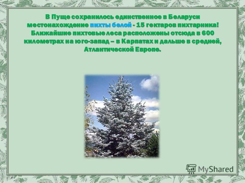 В Пуще сохранилось единственное в Беларуси местонахождение пихты белой - 15 гектаров пихтарника! Ближайшие пихтовые леса расположены отсюда в 600 километрах на юго-запад – в Карпатах и дальше в средней, Атлантической Европе.