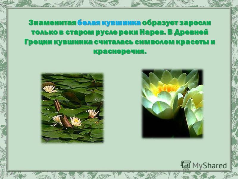 Знаменитая белая кувшинка образует заросли только в старом русле реки Нарев. В Древней Греции кувшинка считалась символом красоты и красноречия.