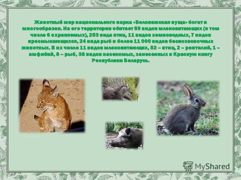 Животный мир национального парка «Беловежская пуща» богат и многообразен. На его территории обитает 59 видов млекопитающих (в том числе 6 охраняемых), 253 вида птиц, 11 видов земноводных, 7 видов пресмыкающихся, 24 вида рыб и более 11 000 видов беспо