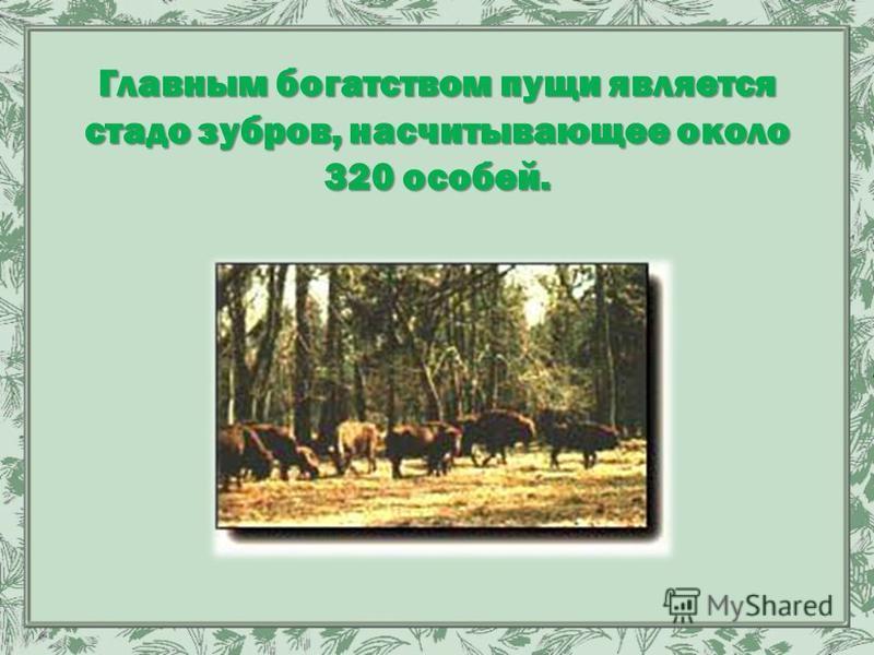 Главным богатством пущи является стадо зубров, насчитывающее около 320 особей.