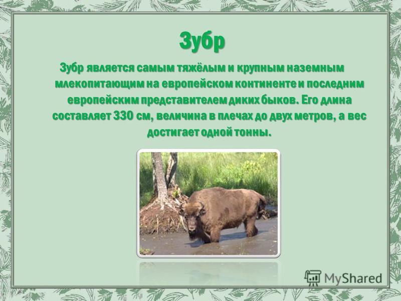 Зубр Зубр является самым тяжёлым и крупным наземным млекопитающим на европейском континенте и последним европейским представителем диких быков. Его длина составляет 330 см, величина в плечах до двух метров, а вес достигает одной тонны.