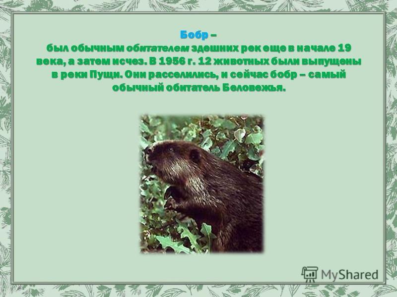 Бобр – был обычным обитателем здешних рек еще в начале 19 века, а затем исчез. В 1956 г. 12 животных были выпущены в реки Пущи. Они расселились, и сейчас бобр – самый обычный обитатель Беловежья.