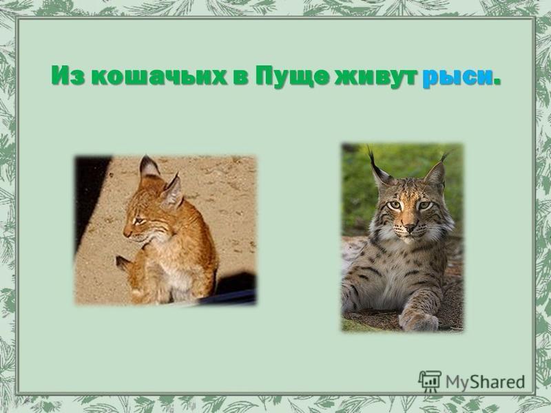 Из кошачьих в Пуще живут рыси.