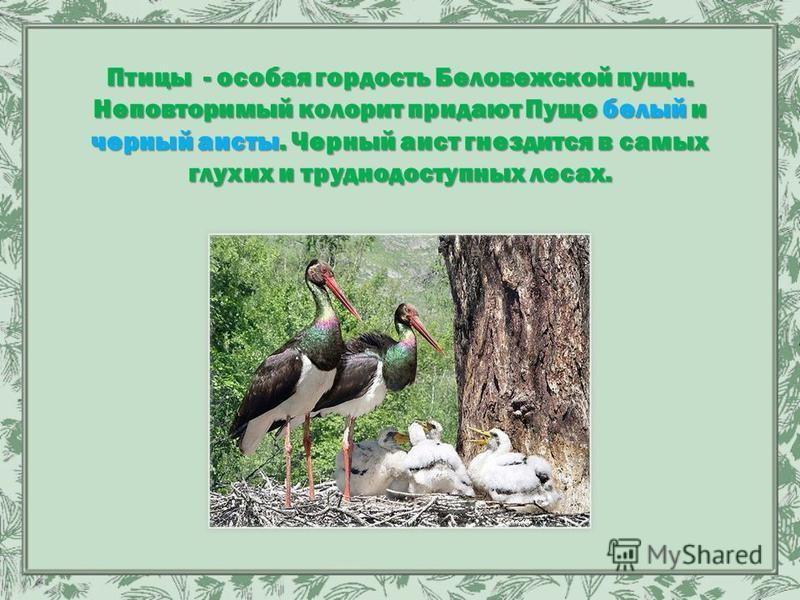 Птицы - особая гордость Беловежской пущи. Неповторимый колорит придают Пуще белый и черный аисты. Черный аист гнездится в самых глухих и труднодоступных лесах.