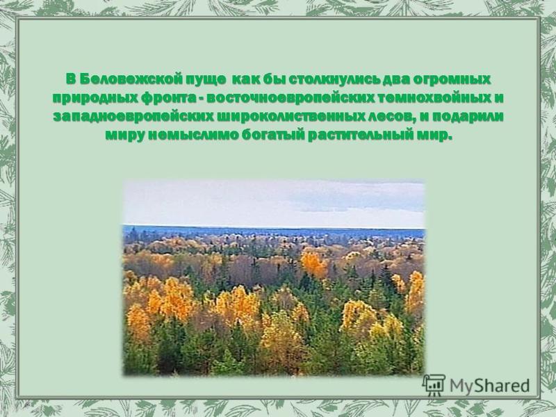 В Беловежской пуще как бы столкнулись два огромных природных фронта - восточноевропейских темнохвойных и западноевропейских широколиственных лесов, и подарили миру немыслимо богатый растительный мир.