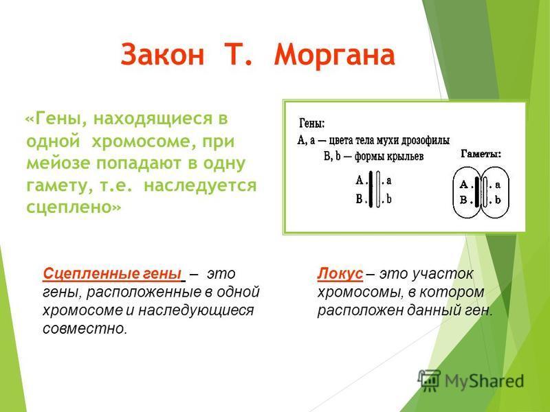 Закон Т. Моргана «Гены, находящиеся в одной хромосоме, при мейозе попадают в одну гамету, т.е. наследуется сцеплено» Сцепленные гены – это гены, расположенные в одной хромосоме и наследующиеся совместно. Локус – это участок хромосомы, в котором распо