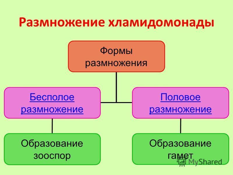 Размножение хламидомонады Формы размножения Бесполое размножение Половое размножение Образование зооспор Образование гамет