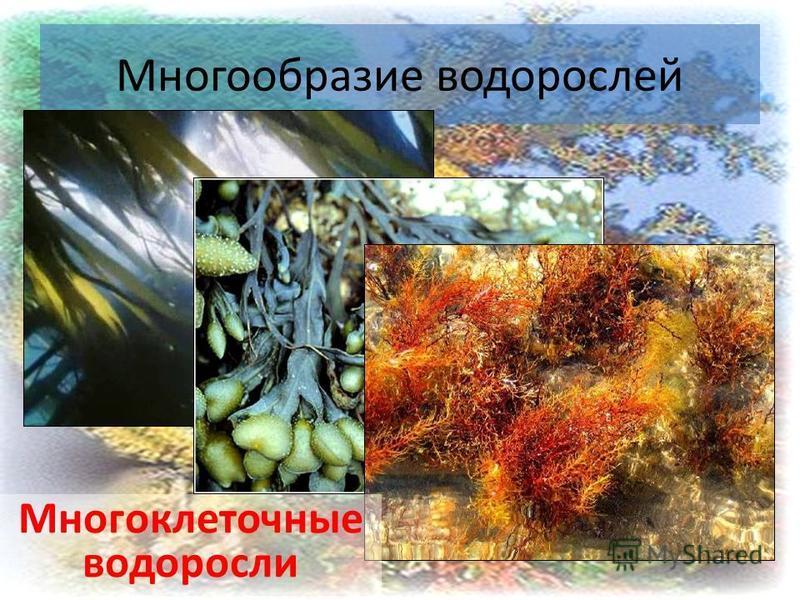 16 Многообразие водорослей Многоклеточные водоросли