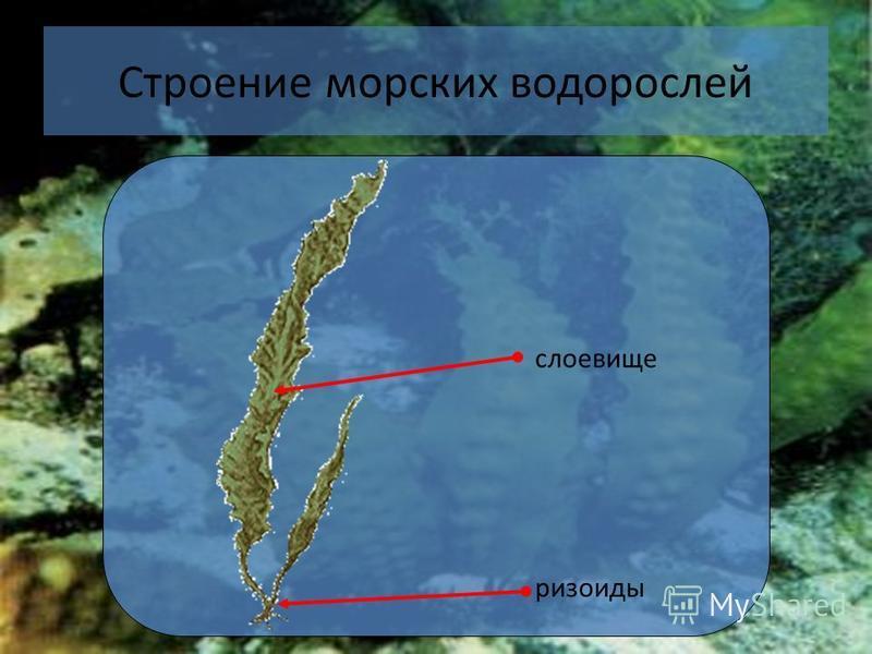 18 Строение морских водорослей слоевище ризоиды