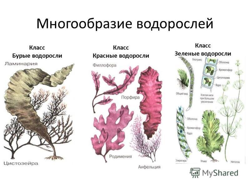 Многообразие водорослей Класс Бурые водоросли Класс Красные водоросли Класс Зеленые водоросли