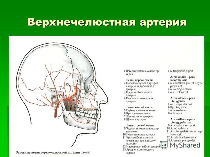 Верхнечелюстная артерия