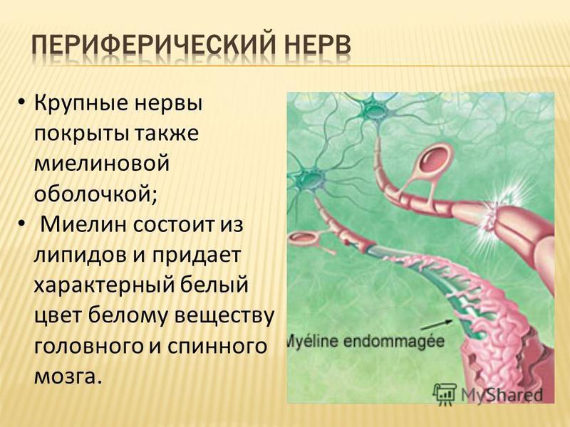Крупные нервы покрыты также миелиновой оболочкой; Миелин состоит из липидов и придает характерный белый цвет белому веществу головного и спинного мозга.
