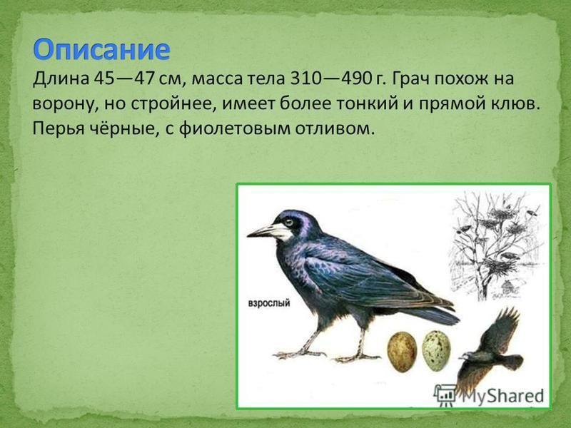 Длина 4547 см, масса тела 310490 г. Грач похож на ворону, но стройнее, имеет более тонкий и прямой клюв. Перья чёрные, с фиолетовым отливом.