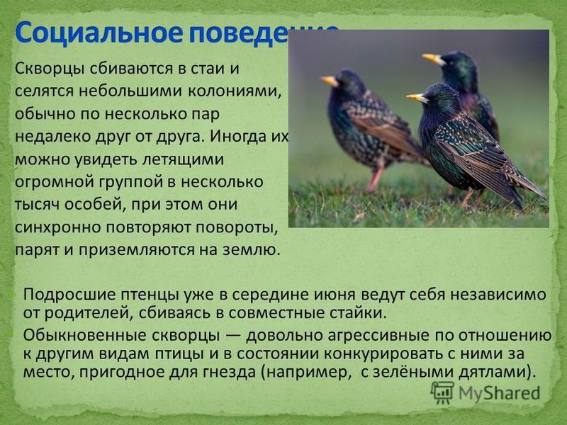 Подросшие птенцы уже в середине июня ведут себя независимо от родителей, сбиваясь в совместные стайки. Обыкновенные скворцы довольно агрессивные по отношению к другим видам птицы и в состоянии конкурировать с ними за место, пригодное для гнезда (напр