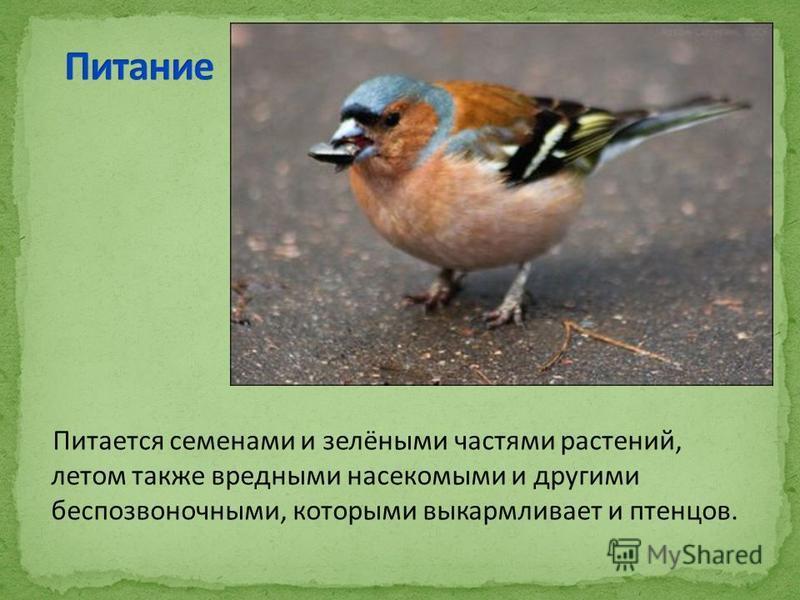 Питается семенами и зелёными частями растений, летом также вредными насекомыми и другими беспозвоночными, которыми выкармливает и птенцов.