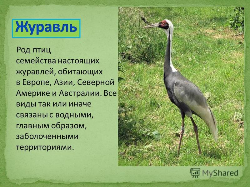Род птиц семейства настоящих журавлей, обитающих в Европе, Азии, Северной Америке и Австралии. Все виды так или иначе связаны с водными, главным образом, заболоченными территориями.