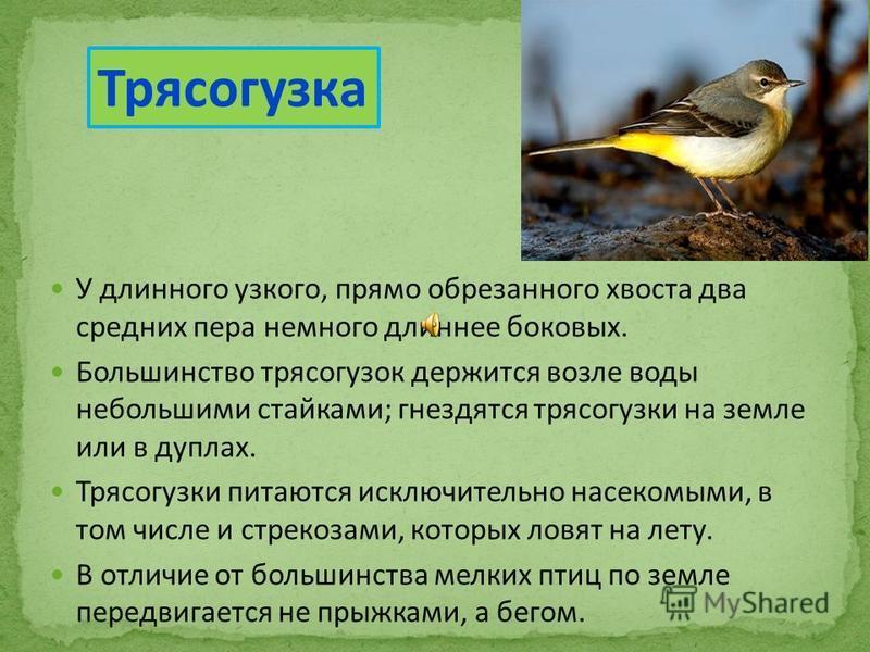 У длинного узкого, прямо обрезанного хвоста два средних пера немного длиннее боковых. Большинство трясогузок держится возле воды небольшими стайками; гнездятся трясогузки на земле или в дуплах. Трясогузки питаются исключительно насекомыми, в том числ