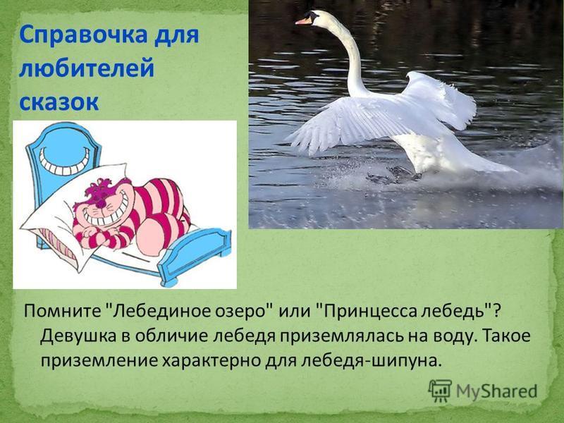 Помните Лебединое озеро или Принцесса лебедь? Девушка в обличие лебедя приземлялась на воду. Такое приземление характерно для лебедя-шипуна. Справочка для любителей сказок