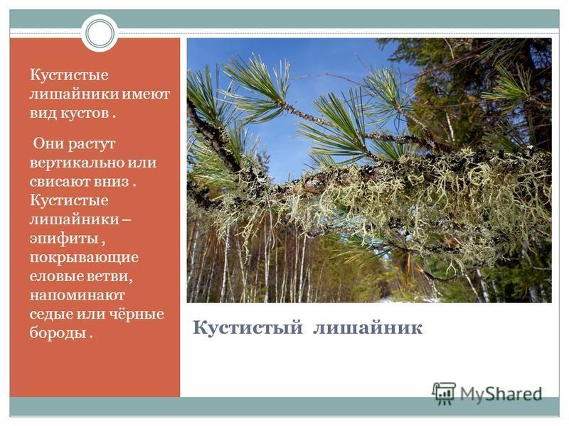Кустистый лишайник Кустистые лишайники имеют вид кустов. Они растут вертикально или свисают вниз. Кустистые лишайники – эпифиты, покрывающие еловые ветви, напоминают седые или чёрные бороды.