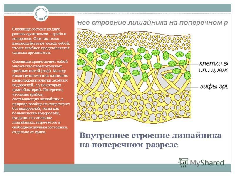 Внутреннее строение лишайника на поперечном разрезе Слоевище состоит из двух разных организмов – гриба и водоросли. Они так тесно взаимодействуют между собой, что их симбиоз представляется единым организмом. Слоевище представляет собой множество пере