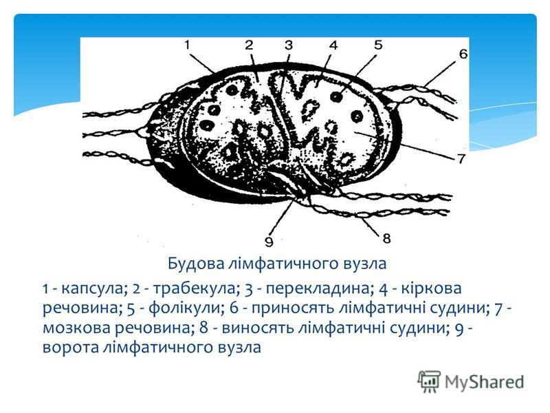 Будова лімфатичного вузла 1 - капсула; 2 - трабекула; 3 - перекладина; 4 - кіркова речовина; 5 - фолікули; 6 - приносять лімфатичні судини; 7 - мозкова речовина; 8 - виносять лімфатичні судини; 9 - ворота лімфатичного вузла