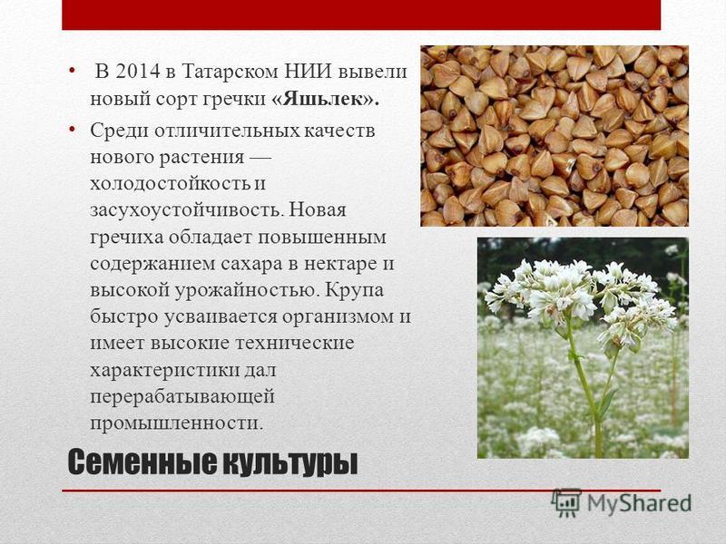 В 2014 в Татарском НИИ вывели новый сорт гречки «Яшьлек». Среди отличительных качеств нового растения холодостойкость и засухоустойчивость. Новая гречиха обладает повышенным содержанием сахара в нектаре и высокой урожайностью. Крупа быстро усваиваетс