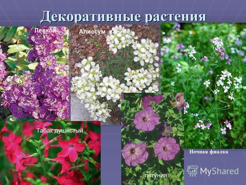 Декоративные растения Ночная фиалка Алиссум Левкой Табак душистый петуния