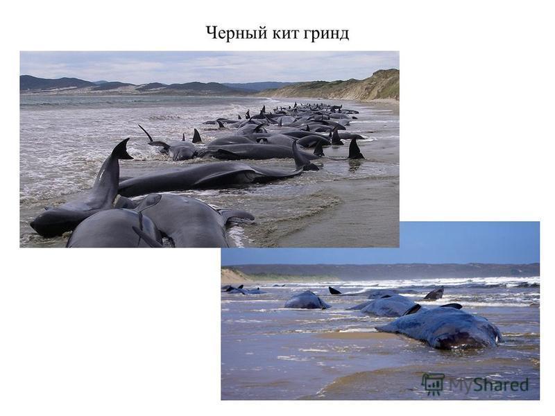 Черный кит гринд
