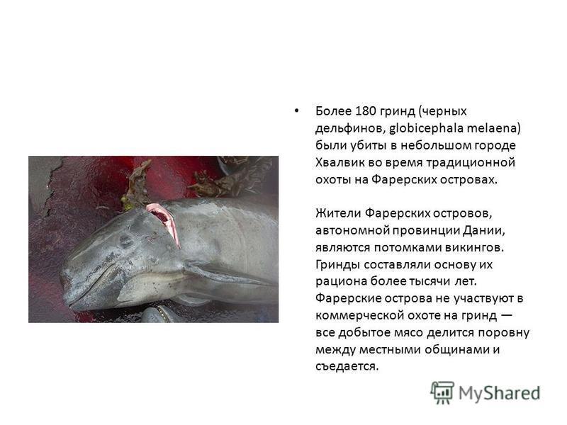 Более 180 гринд (черных дельфинов, globicephala melaena) были убиты в небольшом городе Хвалвик во время традиционной охоты на Фарерских островах. Жители Фарерских островов, автономной провинции Дании, являются потомками викингов. Гринды составляли ос