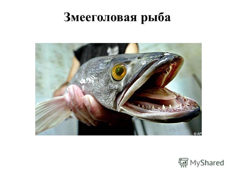 Змееголовая рыба