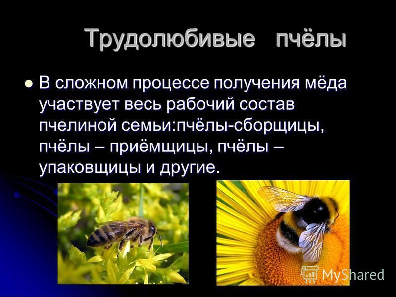 Трудолюбивые пчёлы Трудолюбивые пчёлы В сложном процессе получения мёда участвует весь рабочий состав пчелиной семьи:пчёлы-сборщицы, пчёлы – приёмщицы, пчёлы – упаковщицы и другие.