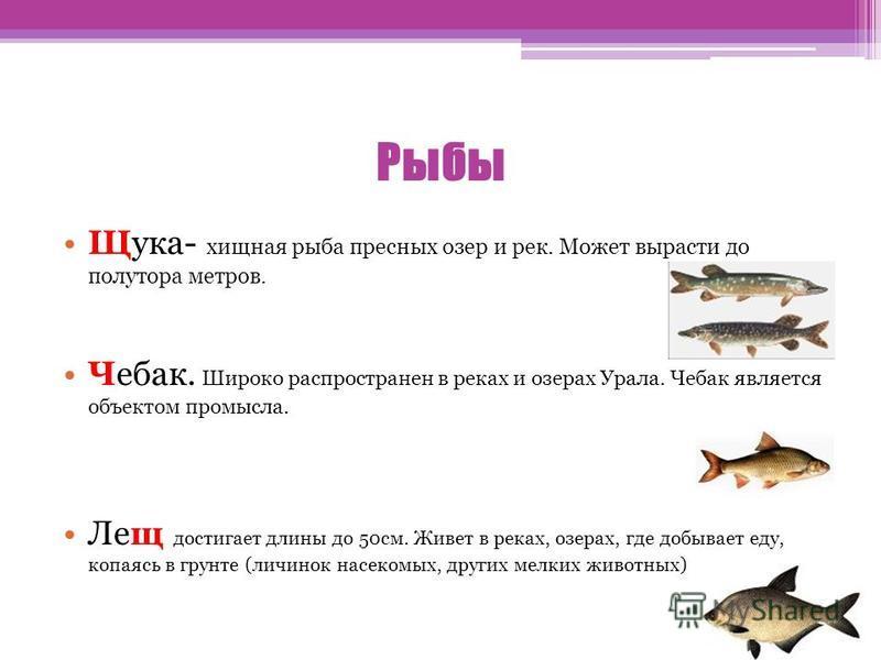 Рыбы Щука- хищная рыба пресных озер и рек. Может вырасти до полутора метров. Чебак. Широко распространен в реках и озерах Урала. Чебак является объектом промысла. Лещ достигает длины до 50 см. Живет в реках, озерах, где добывает еду, копаясь в грунте